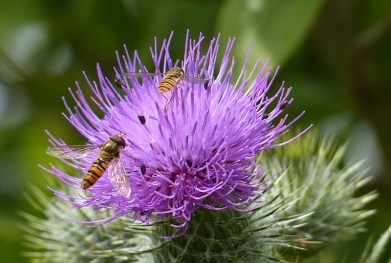 Thistle and hover flies
