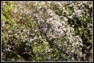 Manuka flowering or is it kanuka???