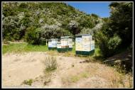 Watson and Son's hoves collecting manuka honey.