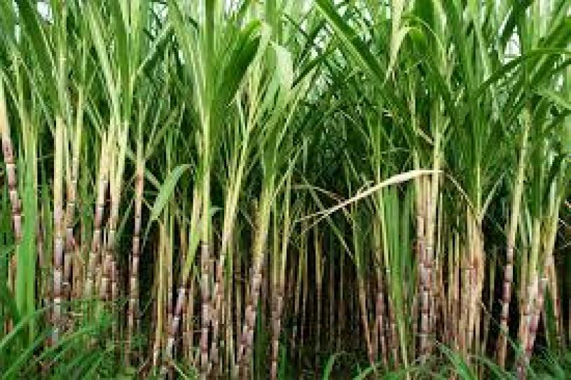 Physical and climatic condition necessary for sugarcane farming