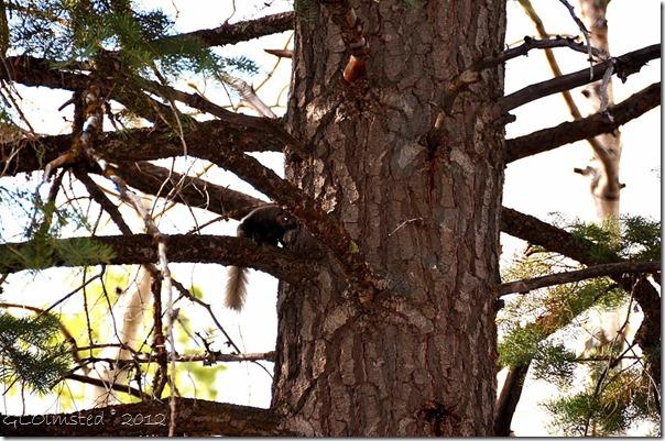 02e Kaibab squirrel NR GRCA NP AZ_01 (1024x678)