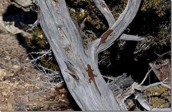06e Plateau lizards Pt Imperial NR GRCA NP AZ (1024x667)