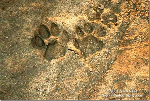 07 cougar tracks