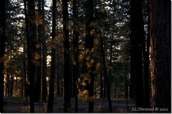 01 Morning light on pines NR GRCA NP AZ (1024x678)