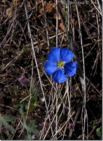 01 Western Blue Flax Kaibab NF AZ (749x1024)