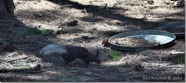 02e Kaibab squirrel from RV window NR GRCA NP AZ (1024x455)