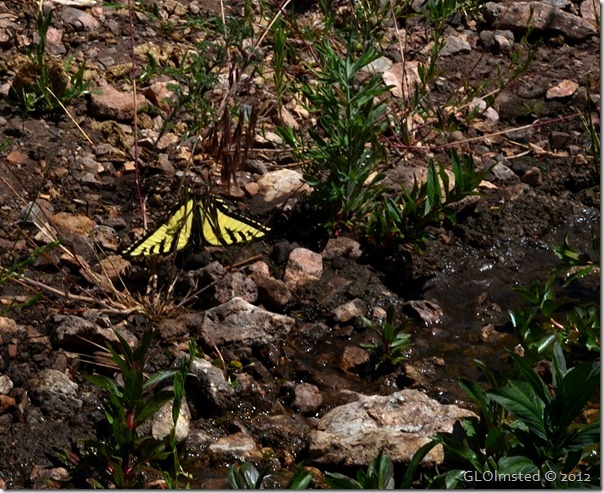 05e Swallowtail butterfly at Riggs Spring Kaibab NF AZ (1024x835)