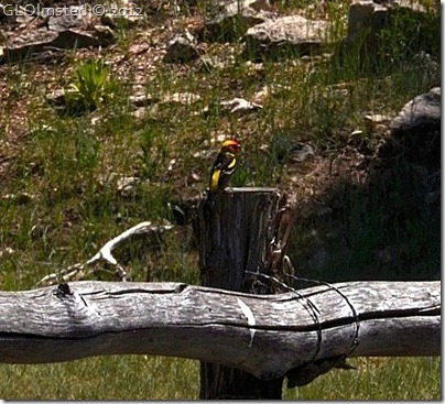 06e Western Tanager on fence by Riggs Spring Kaibab NF AZ (658x597)