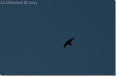 11e Raven Kaibab NF AZ (1024x669)