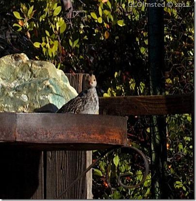 03e Baby quail in feeder at Berta's Yarnell AZ (699x716)