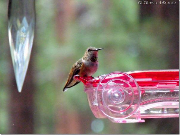 05 Rufous hummingbird NR GRCA NP AZ (1024x768)