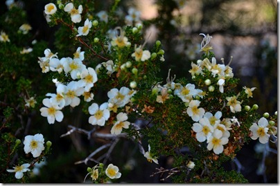 08er Cliff rose flowers Walhalla Plateau NR GRCA NP AZ (1024x678)