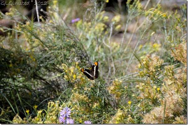 01 Arizona Sister butterfly Walhalla Plateau NR GRCA NP AZ (1024x678)