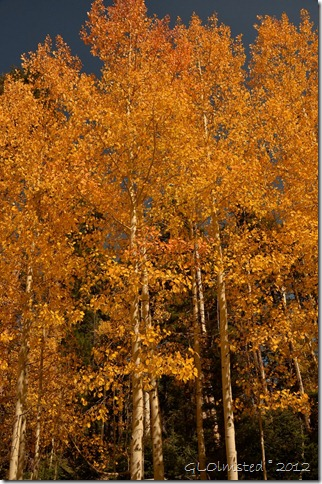 Fall aspen along Kaibab National Forest Arizona