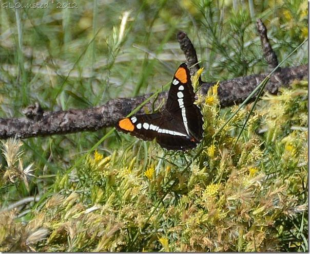 04 Arizona Sister butterfly Walhalla Plateau NR GRCA NP AZ (821x671)