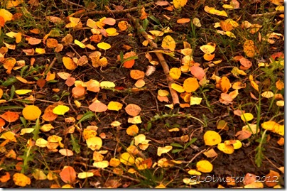Fall aspen leaves Kaibab National Forest Arizona