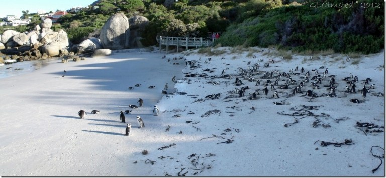 Penguins beach Boulders Table Mountain National Park Cape Peninsula South Africa