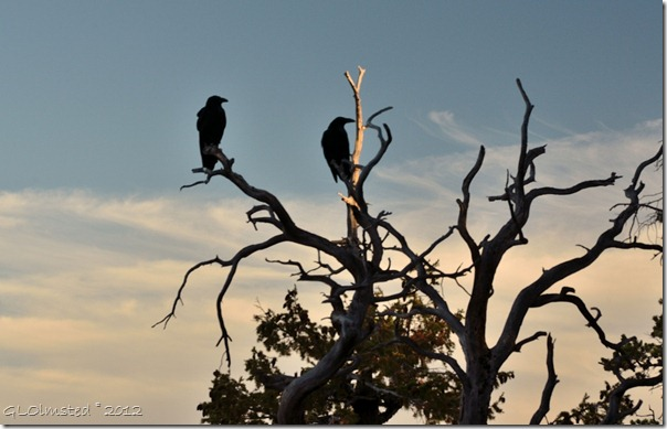02ec Ravens in snag from Cape Royal trail NR GRCA NP AZ (1024x657)