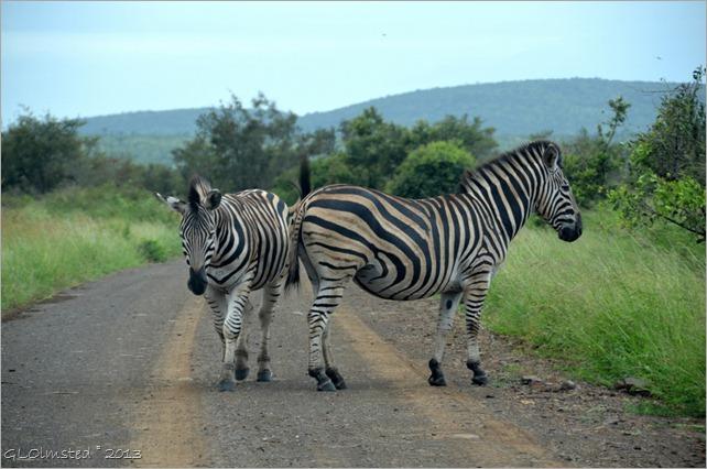 Burchells Zebras Kruger NP SA
