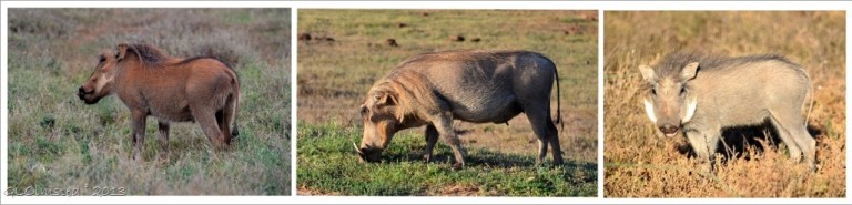 Warthogs at Addo Elephant National Park