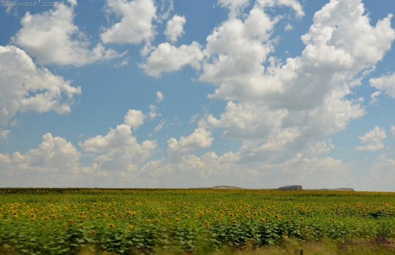 Sunflowers Free State