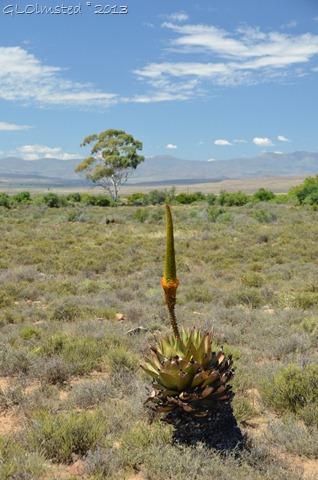 Aloe Karoo