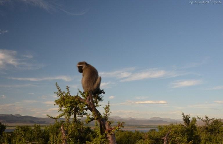 Vervet monkey Camdeboo National Park