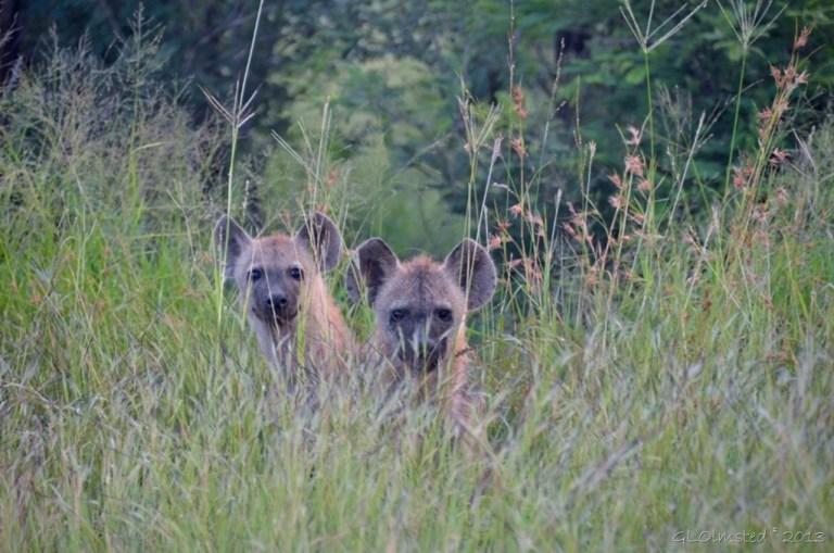 Spotted Hyenas Kruger NP SA