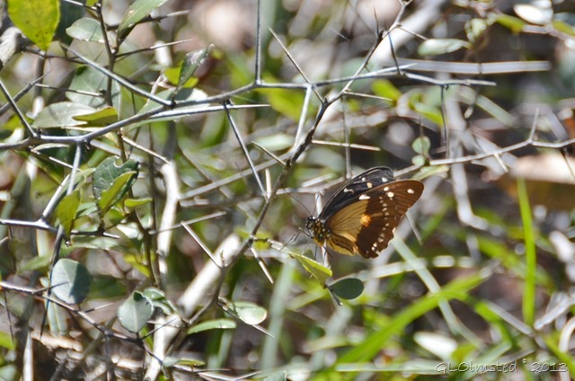 Butterfly along Big Tree trail Wild Spirit Nature's Valley SA
