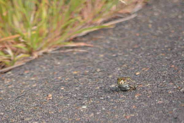 Frog on road Kruger NP SA