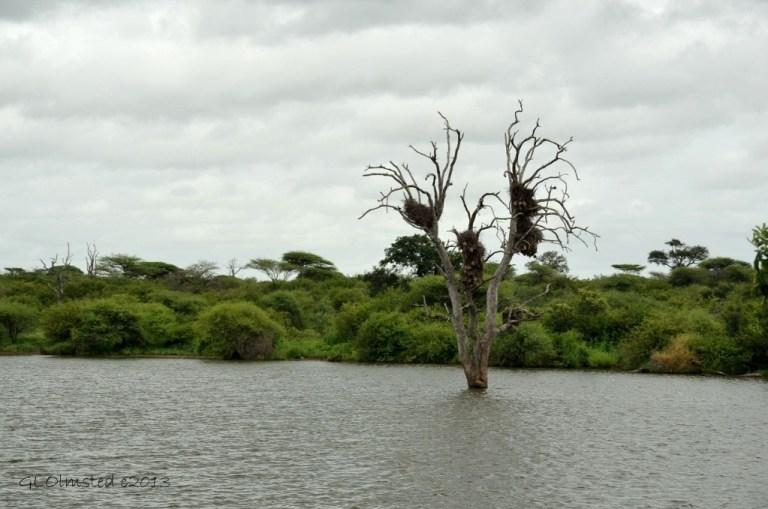 Social Weaver nests Kruger NP SA