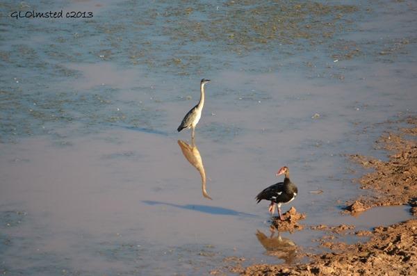 Black-necked Heron & Spur-winged Goose Addo Elephant NP SA