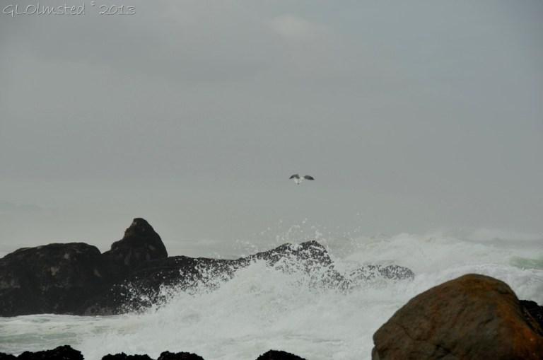 Seagull West Coast NP Langebaan SA