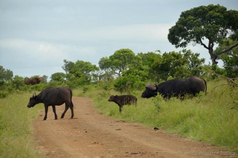 African Buffalos Kruger NP SA