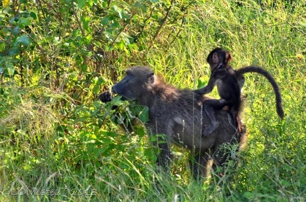 Baboons Kruger NP SA