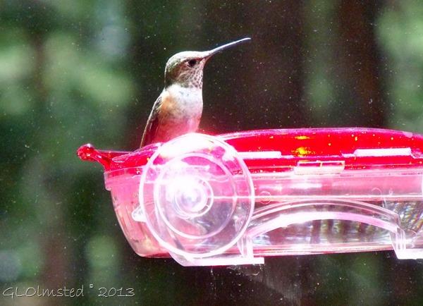 Rufuos hummingbird NR GRCA NP AZ