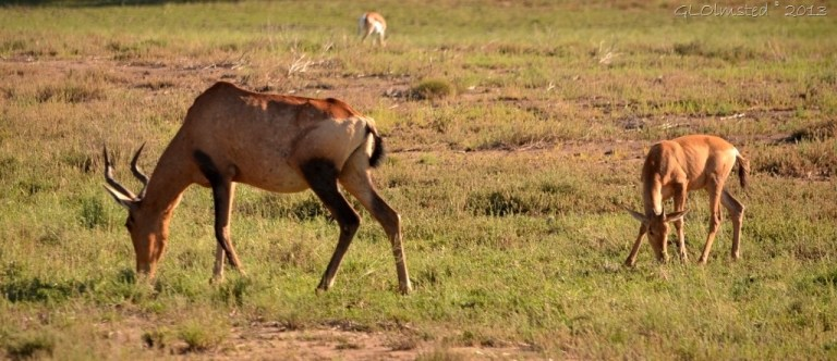 Red Hartebeest Mt Zebra NP Eastern Cape SA