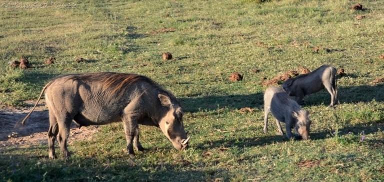 Warthogs Addo Elephant NP SA