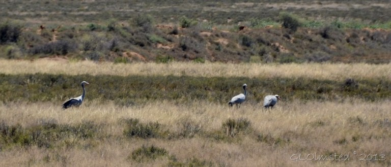 Blue cranes along Nieu-Bethesda Road Great Karoo South Africa