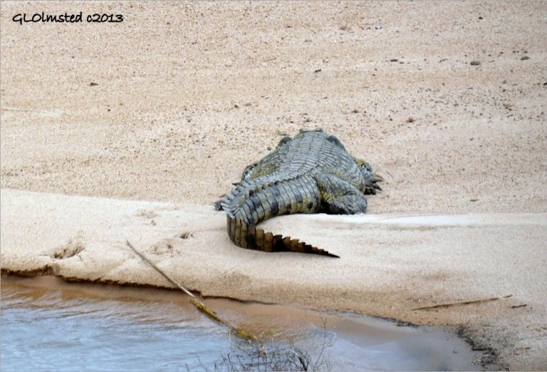 Crocodile on sandbar Kruger National Park South Africa