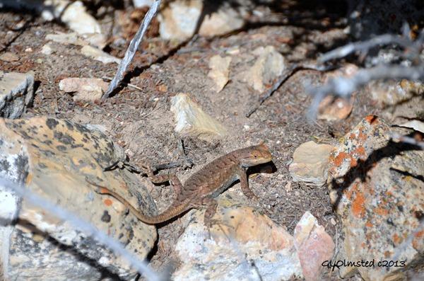 Plateau lizard at Point Sublime North Rim Grand Canyon National Park Arizona