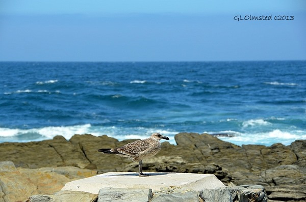 Seagull at Tsitsikamma National Park Storms River Mouth South Africa