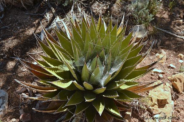 Cobweb in yucca at Point Sublime North Rim Grand Canyon National Park Arizona