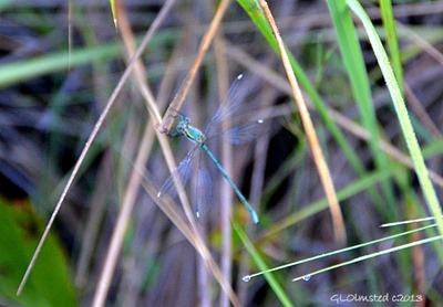 Dragonfly along Echo Ravine trail Golden Gate Highlands National Park South Africa