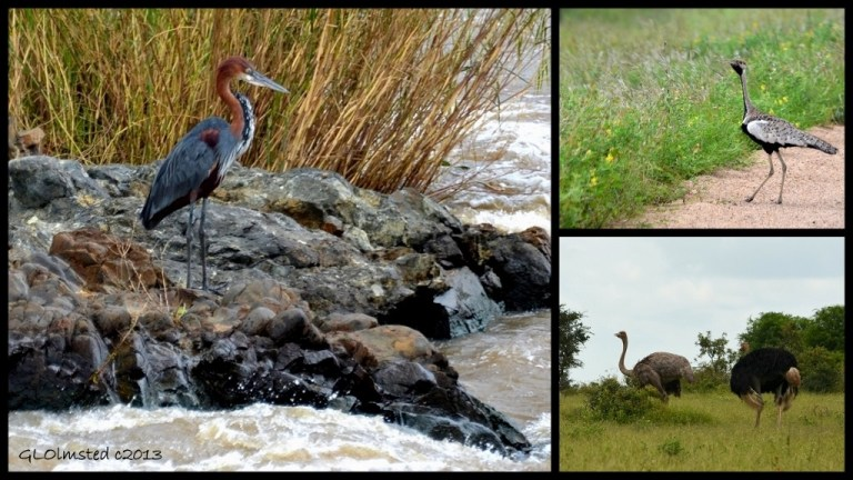 Goliath Heron, Black-bellied Korhaan and Ostrich of Kruger National Park South Africa
