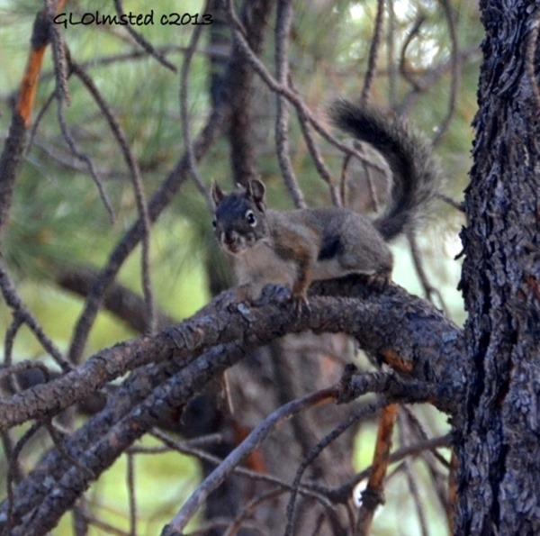 Juvenile Kaibab squirrel North Rim Grand Canyon National Park Arizona