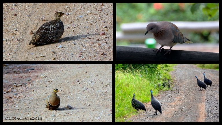 Coqui Franklins, Emerald-spotted Wood Dove, Helmeted Guineafowl and Double-banded Sandgrouse of Kruger National Park South Africa