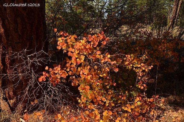 Fall aspen colors at Walhalla overlook North Rim Grand Canyon National Park Arizona