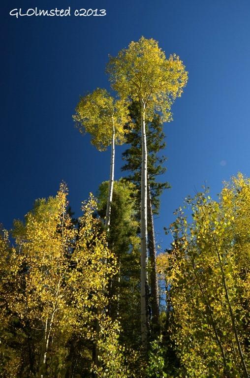 Golden aspen Kaibab National Forest Arizona