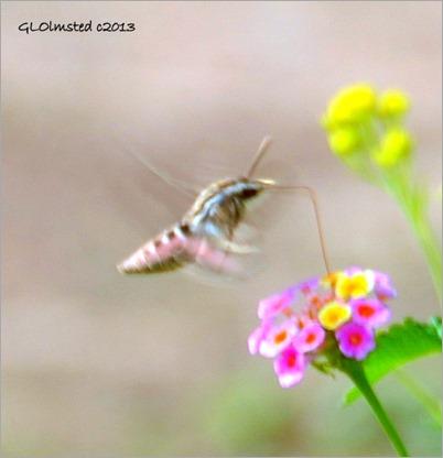 Hummingbird moth Congress Arizona